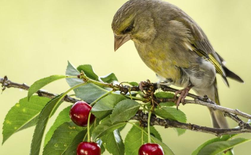 Птицы уничтожают урожай