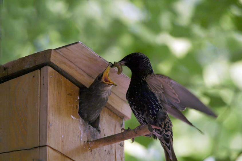 Птицы боряться с насекомыми