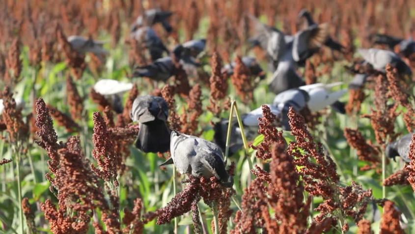 Птицы уничтожают посевы сорго